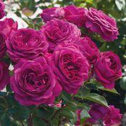 Celestial Nights™ Floribunda Rose