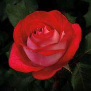 Love At First Sight™ Hybrid Tea Rose Thumb