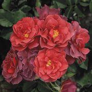 Cinco de Mayo™ Floribunda Rose Thumb