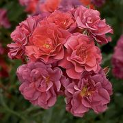 Cinco de Mayo™ Floribunda Rose Alternate Image 1