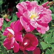 William Baffin Climbing Rose