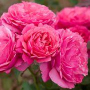 Dee-Lish® Hybrid Tea Rose Thumb