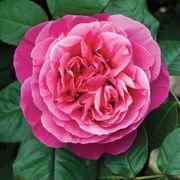 Dee-Lish® Hybrid Tea Rose Alternate Image 1