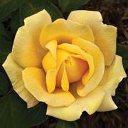Eternal Flame™ Hybrid Tea Rose Thumb