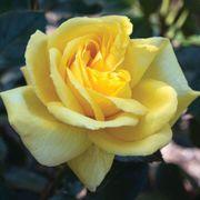 Eternal Flame™ Hybrid Tea Rose Alternate Image 1