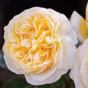 Moonlight Romantica® Hybrid Tea Rose Alternate Image 1