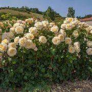 Moonlight Romantica® Hybrid Tea Rose Alternate Image 2