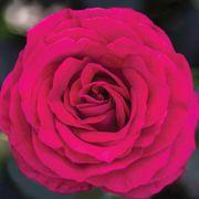 Stiletto™ Hybrid Tea Rose Thumb