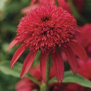 Echinacea Double Scoop™ Cranberry Thumb