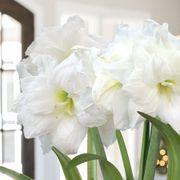 Sonata Alfresco Amaryllis Bulbs