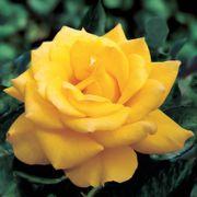 Henry Fonda Hybrid Tea Rose