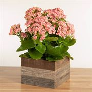 Pretty Pink Kalanchoe Plant in Reclaimed Wood Thumb