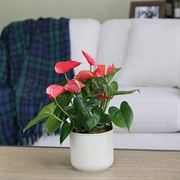 Red Anthurium Thumb