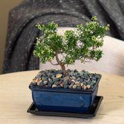 Rosemary Bonsai Thumb