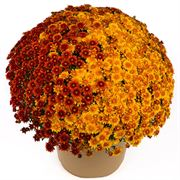 Blooming Block Beverly™ Copper Penny™ Mum Mix Thumb