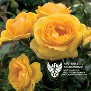 Soaring to Glory 36-Inch Patio Tree Rose