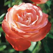 Sheer Magic™ Hybrid Tea Rose
