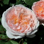 Bliss™ Parfuma® Floribunda Rose