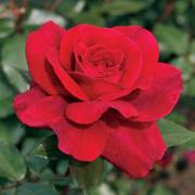 Gypsy Soul™ Eleganza® Hybrid Tea Rose