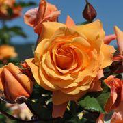 Tangerine Skies™ Arborose® Climbing Rose