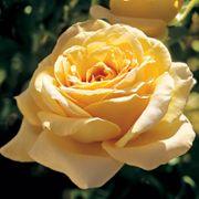 Solstice® Grandiflora Rose