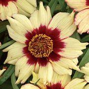 Autumn Blush Coreopsis