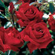 Beloved Hybrid Tea Rose
