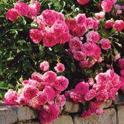 Petal Pushers Groundcover Rose Alternate Image 2