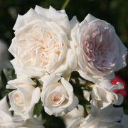 Honeymoon™ Arborose® Climbing Rose