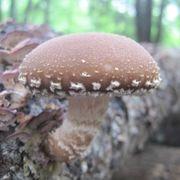 Mushroom Shiitake Log Spawn Plugs (100)