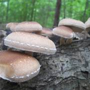 Shiitake Log Spawn Plugs (100)