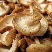 Shiitake Fruiting Countertop Mushroom Kit