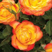 Summer Surprise Hybrid Tea Rose