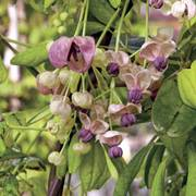 Silver Bells Chocolate Vine