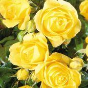 Walking on Sunshine 24-Inch Patio Tree Rose Thumb