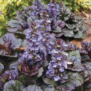 Black Scallop Bugleweed