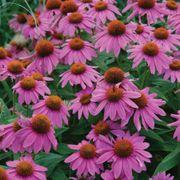 Echinacea PowWow® Wild Berry