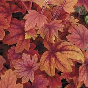 Heuchera Sweet Tea