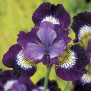 Contrast in Styles Siberian Iris