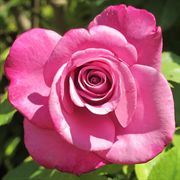 Aromatherapy™ Hybrid Tea Rose