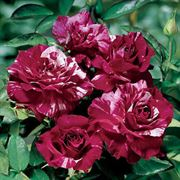 Purple Tiger Floribunda Rose