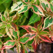 My Monet® Sunset Weigela