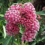 Asclepias incarnata 'Cinderella' - Pack of 3 Plants