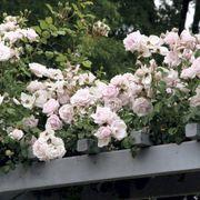 'New Dawn' Climbing Rose