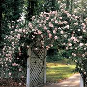 New Dawn Climbing Rose Alternate Image 1