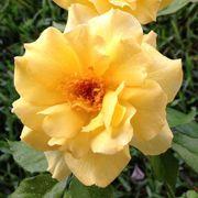 Sun Flare Floribunda Rose