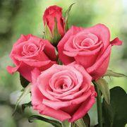 Deja Blu Mini-Flora Rose