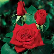 Olympiad™ Hybrid Tea Rose