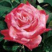 'Brigadoon' Hybrid Tea Rose