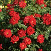Latest Flame Hedge Rose